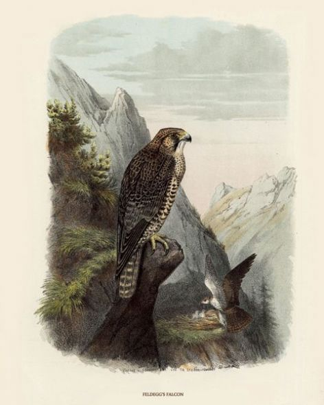 Fine Art Print of the Feldegg's Falcon by O V Riesenthal (1876)
